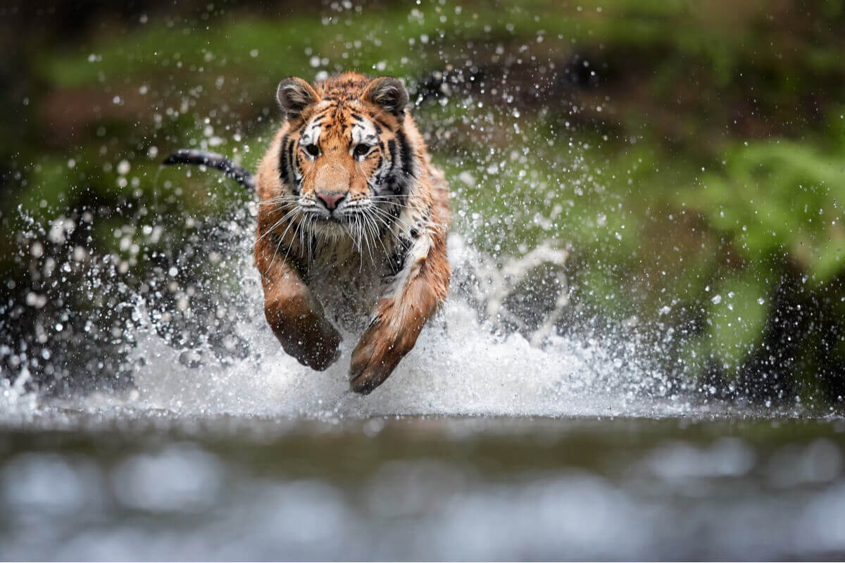 A tiger leaping.