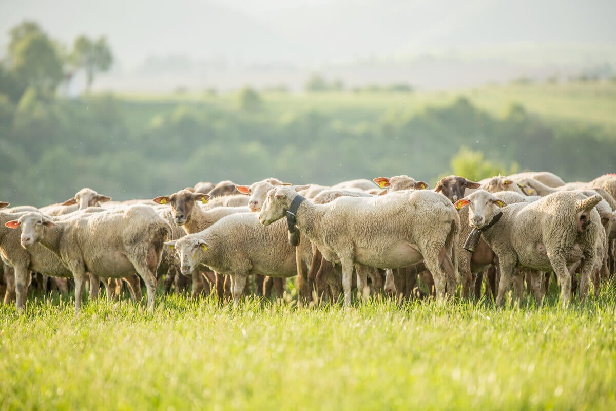Livestock in an agroecological farm.