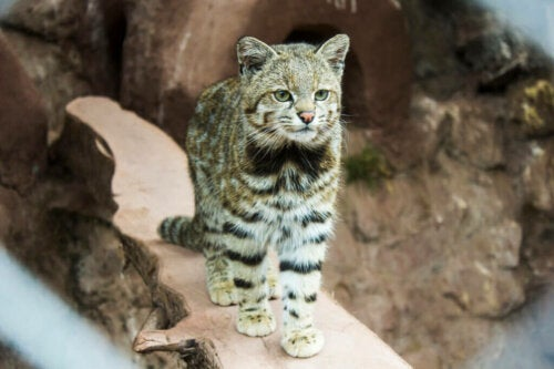 The Andean Cat - A Seriously Endangered Feline
