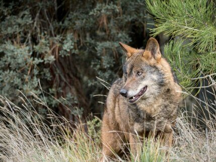 An Iberian Wolf in the wild undergrowth.