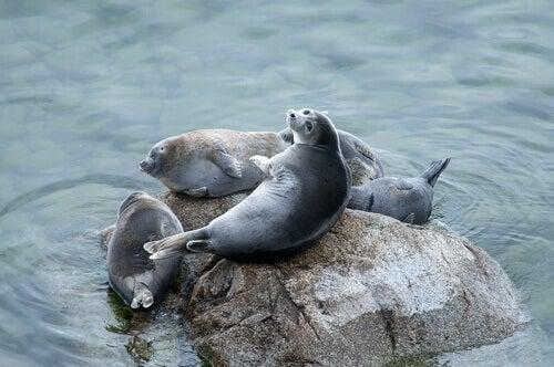 Seals sunbathing on a rock in the sea.