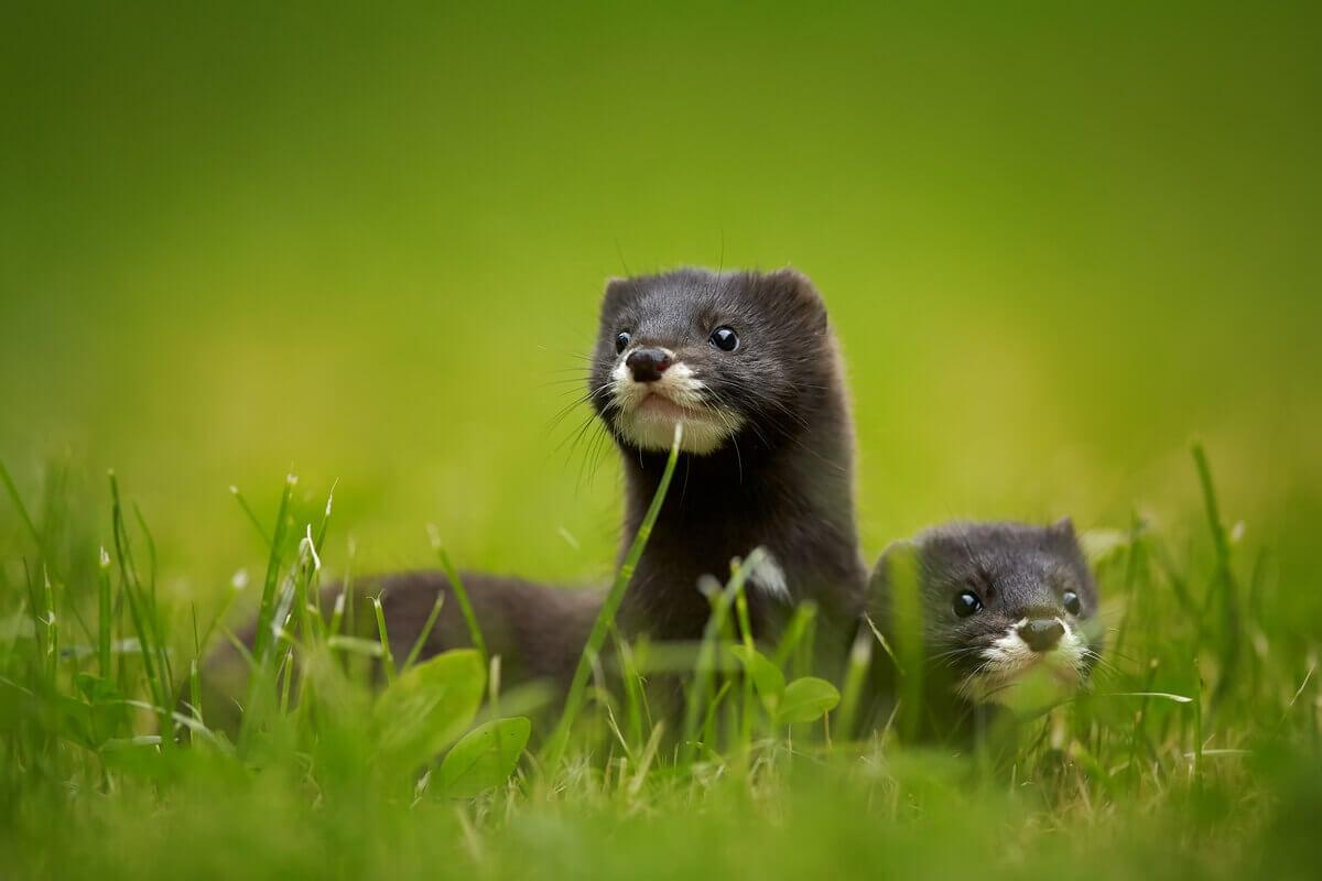 Two European minks hide in grass.