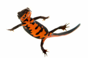 The Fire Belly Newt: Care and Characteristics