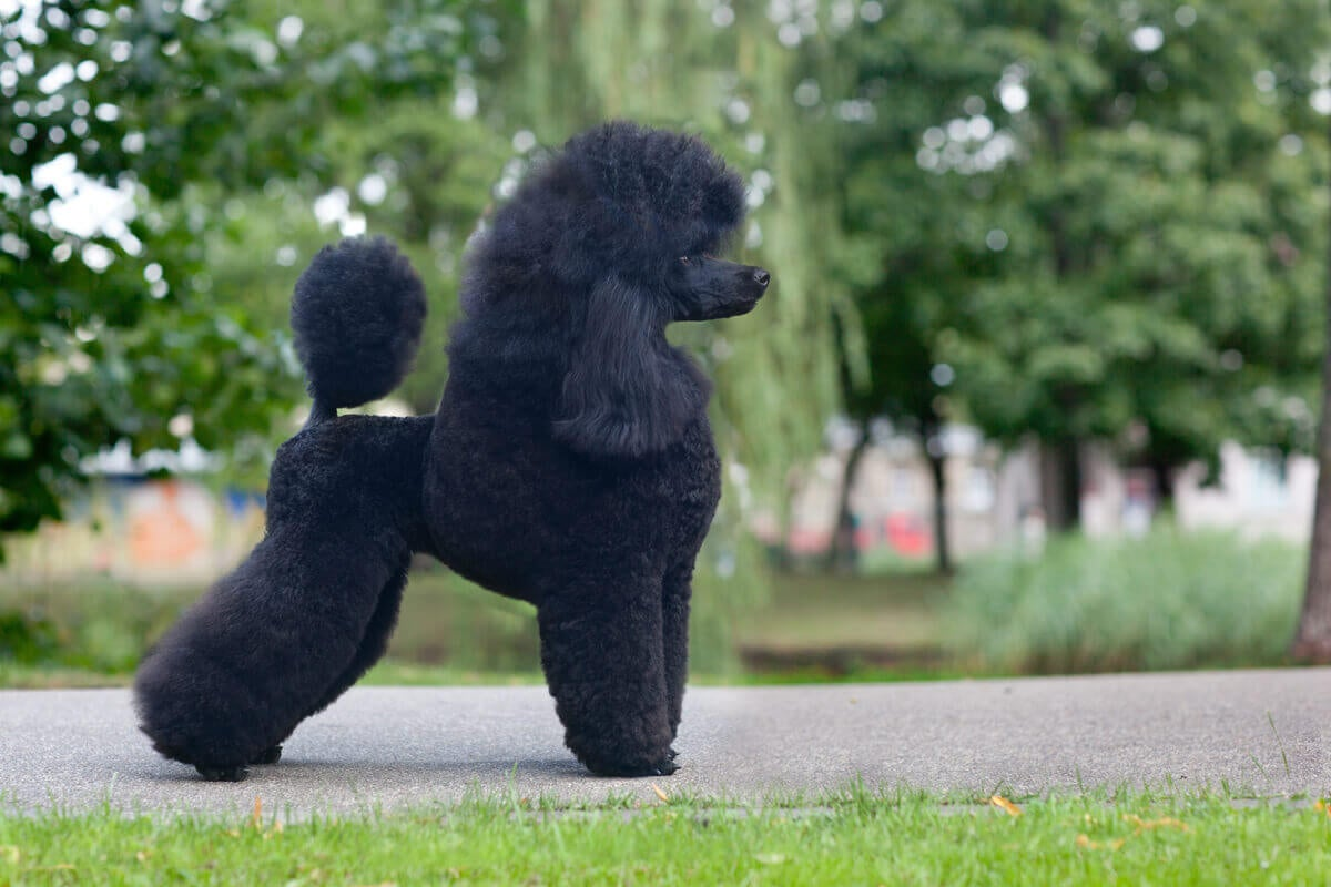 The profile of a black poodle.