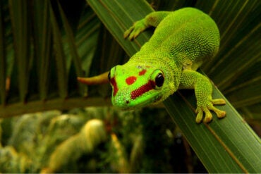 Day Geckos: Care and Characteristics