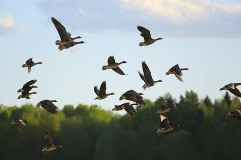 Swallows migrating.