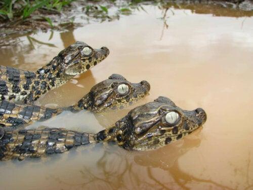 Three caimans under water.