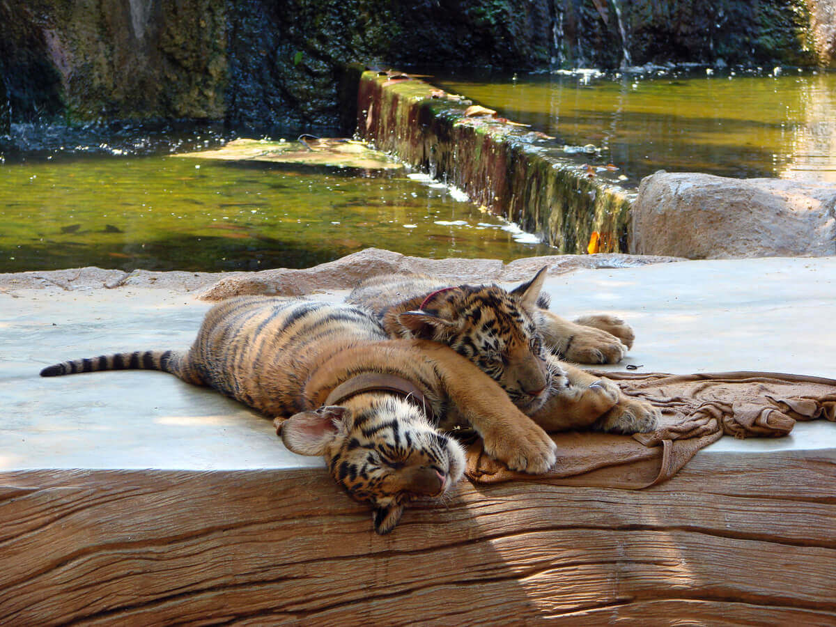 Two South China tigers in a zoo.
