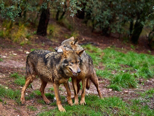All About the Iberian Wolf