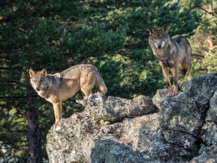 Two Iberian Wolves standing on rocks.