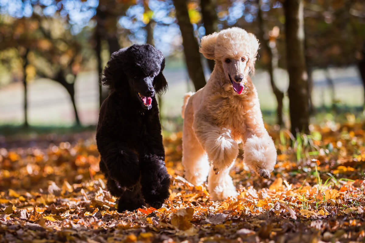 Two poodles running outdoor in the fall.