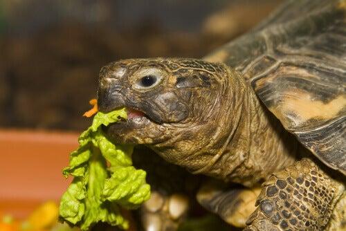 A tortoise eating lettuce.