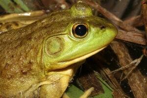 The head of an American bullfrog.