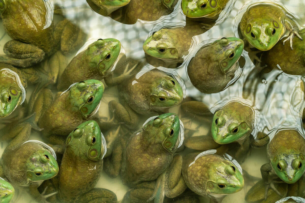 Many bullfrogs in a pond.