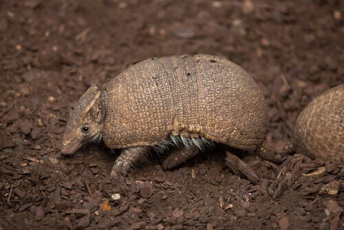 Armadillos are one of the world's sleepiest animals.