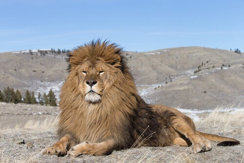 Today, the Barbary lion lives only in captivity.