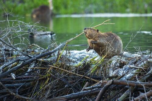 A beaver building a dam.