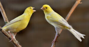 Canaries singing in a tree.