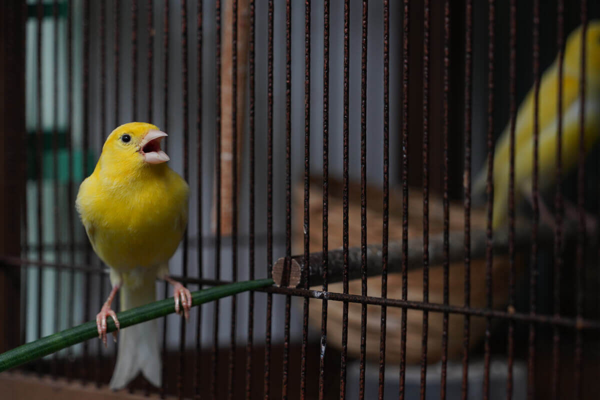A canary sings in a cage.
