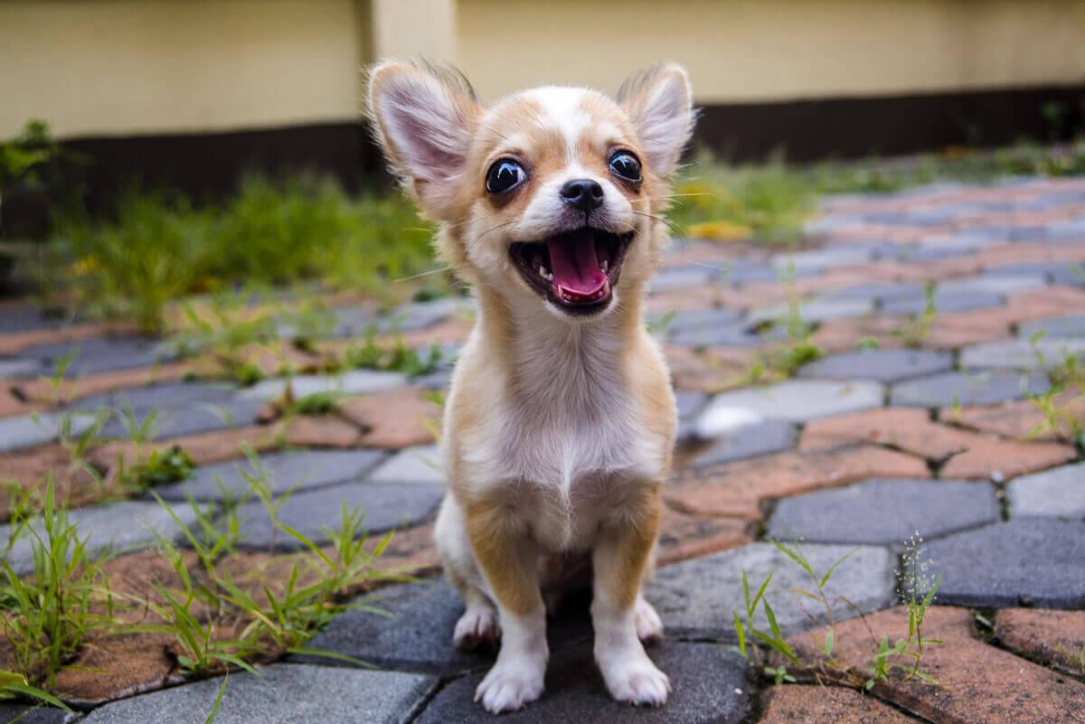 A smiling Chihuahua dog.