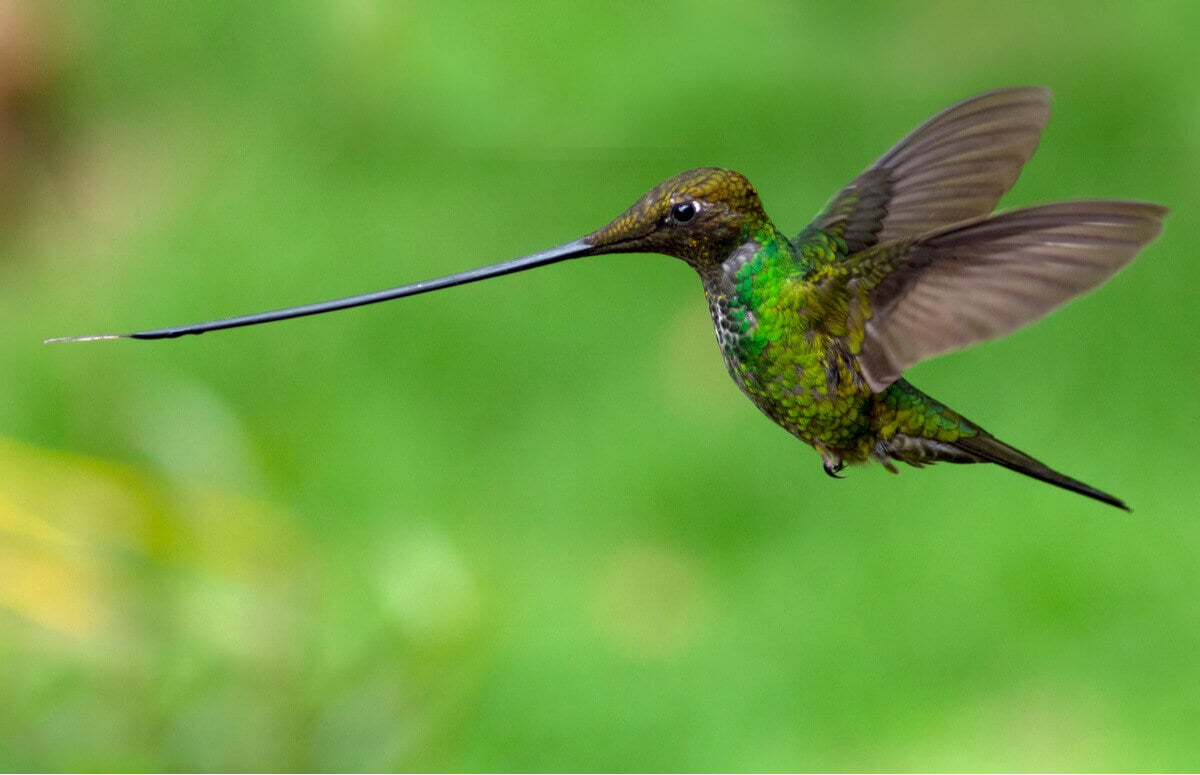 The hummingbird while flying.