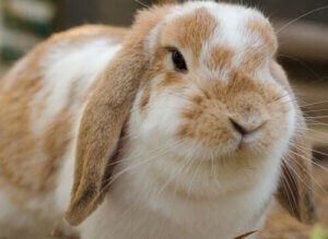 How Many Types of Domestic Rabbits Are There?