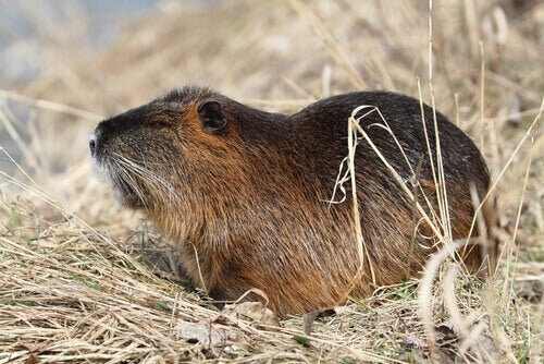 The coypu lives in South America.