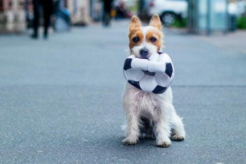 A dog holding a soccer ball.