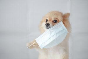 A Pomeranian dog wearing a mask.