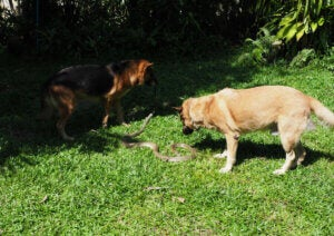 Dogs play with a snake.