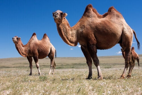 The dromedary, an animal of the Maroccan fauna, is use basically as a pack animal.