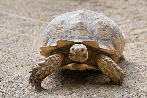 A russian tortoise walking.