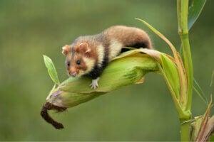 The European hamster in danger of extinction.
