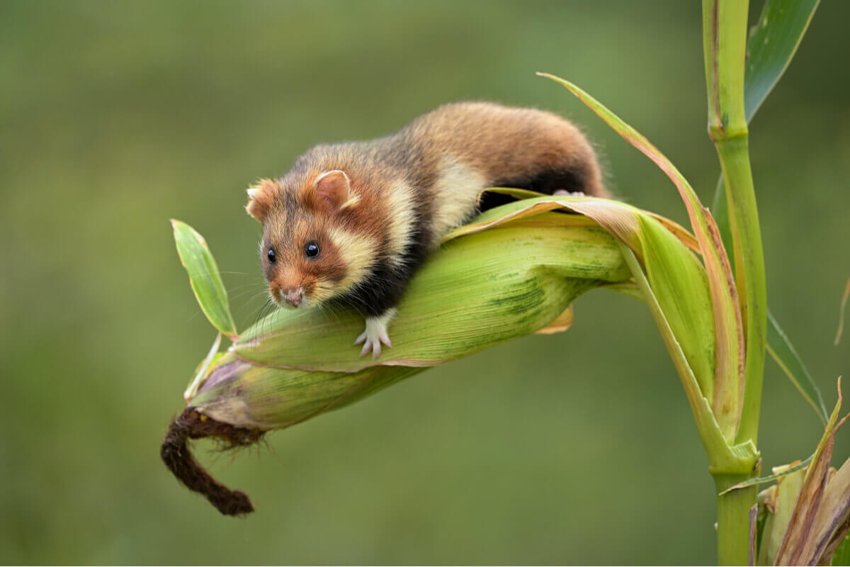 The European hamster in danger of extinction.