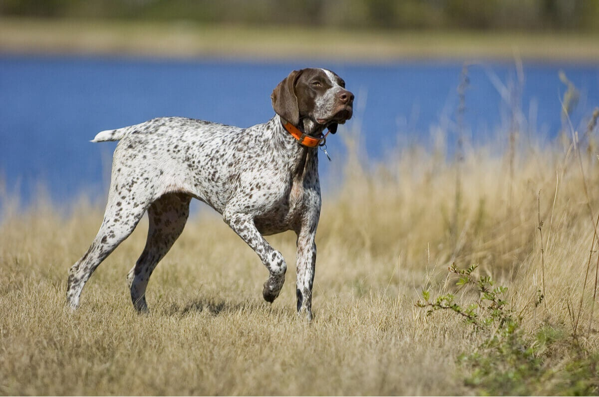 A German Shorthaired pointer in the field.