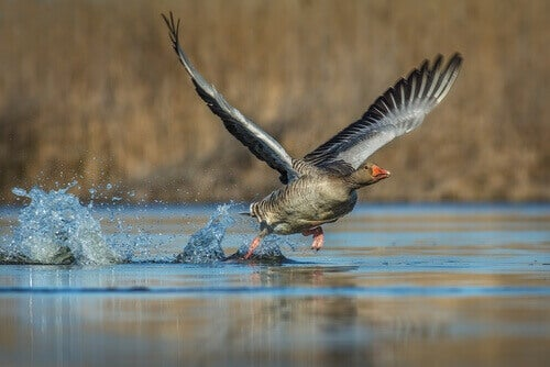 A goose flying over water.