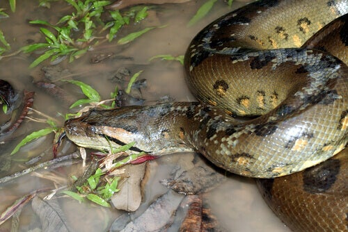The anaconda, the largest ophidian known, has strong jaws.