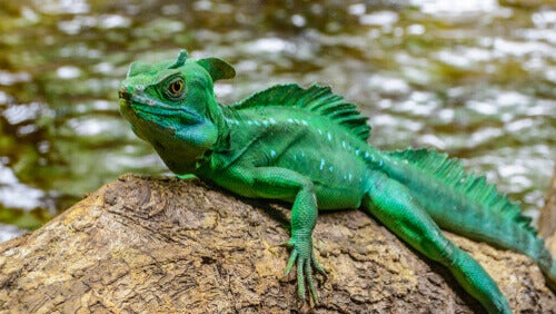 The basilisk is a kind of combination between an iguana and a dinosaur, and it lives in the Amazon.