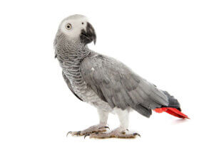 A gray parrot on a white background.