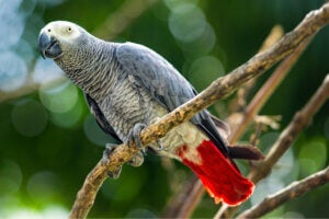 Gray Parrots: An Endangered Species