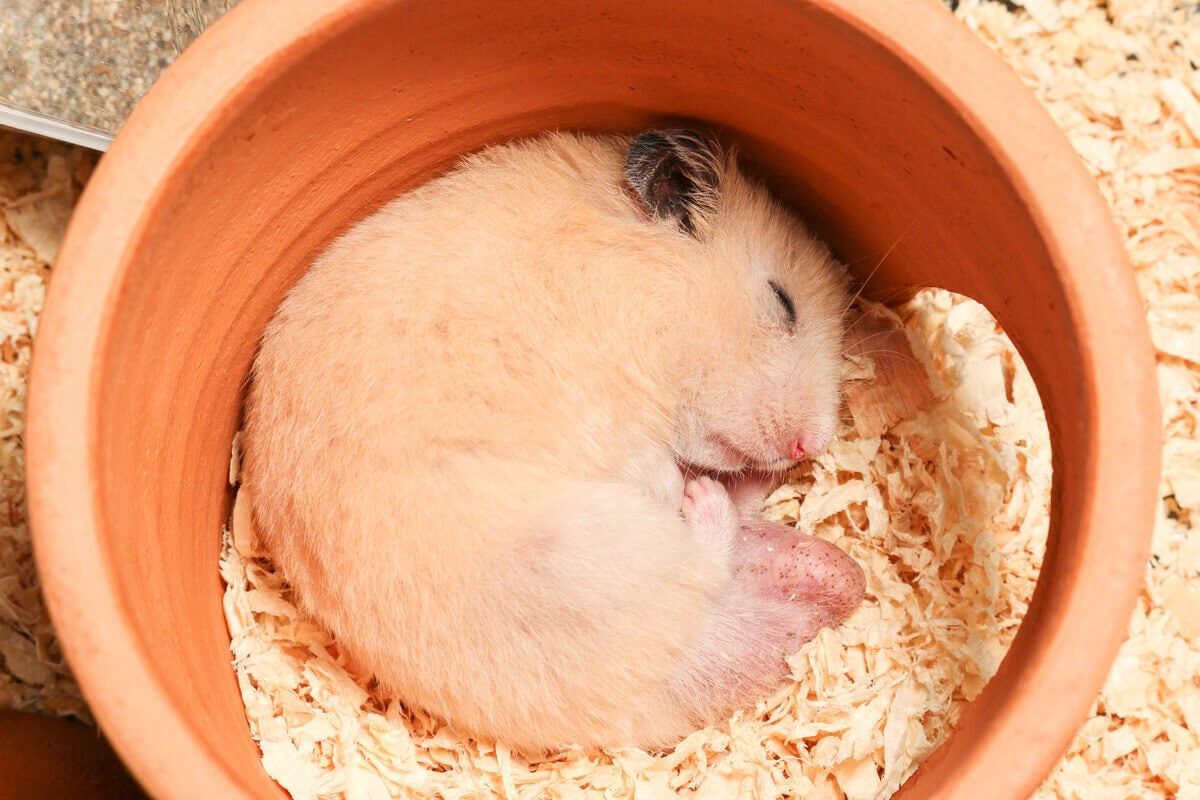 Hamsters can go into hibernation.
