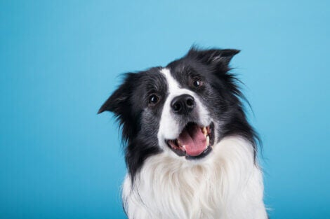 A happy dog on a blue background.