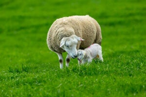 A happy sheep with a youngling.
