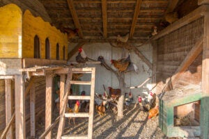 Laying hens living in a hen house.