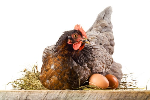 Why Hens Eat Their Eggs