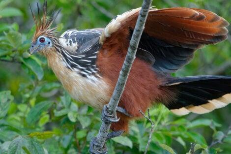 Hoatzin, exotic relative of the chicken.