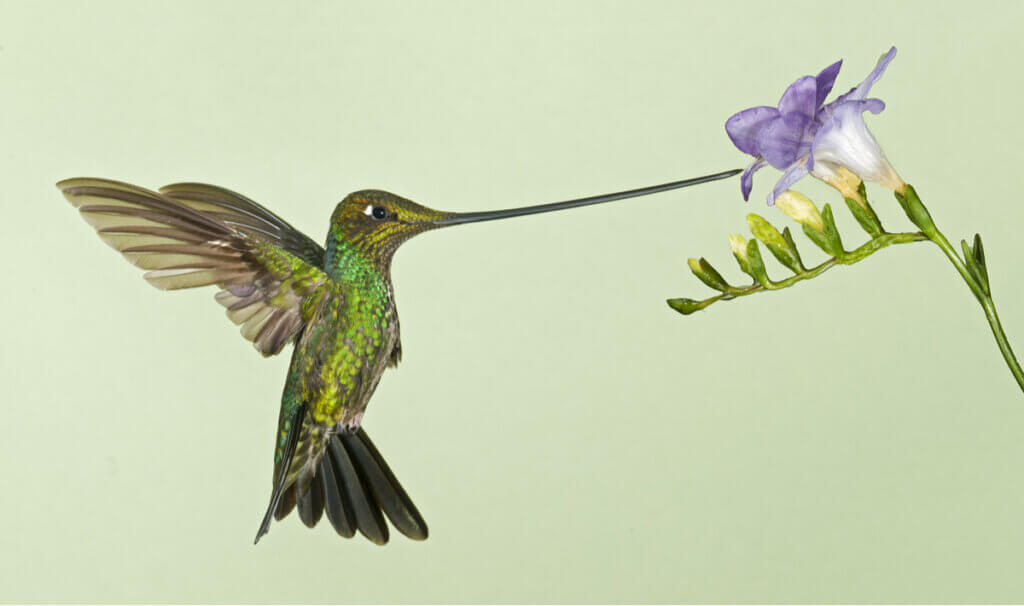 Sword-Billed Hummingbird: Disadvantages of Specialization
