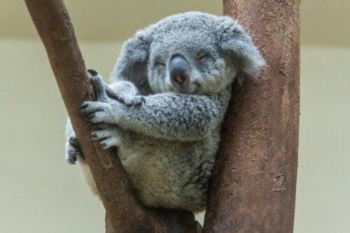 A koala sleeping on a branch.