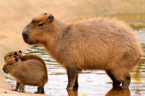 5 Largest Rodents of the Animal Kingdom