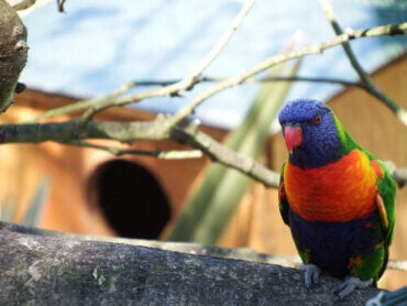 The Coconut Lorikeet: The Bird that Looks Like a Toy